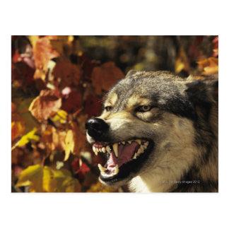 Cartão Postal Lobo (lúpus de Canis) que snarling, headshot, com
