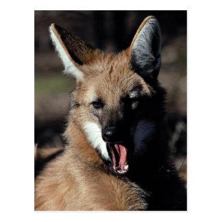 Cartão Postal Lobo Maned que boceja