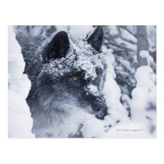 Cartão Postal Lobo solitário na neve