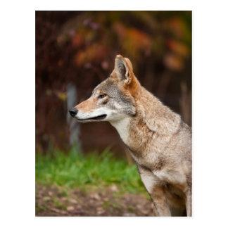 Cartão Postal Lobo vermelho