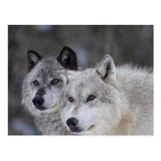 Cartão Postal Lobos (lúpus de Canus) de Yellowstone ocidental.