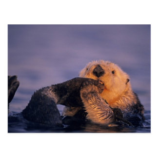 Cartão Postal Lontra de mar, lutris do Enhydra