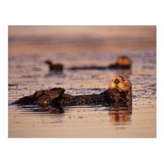 Cartão Postal Lontras de mar, lutris 3 do Enhydra