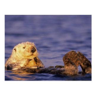 Cartão Postal Lontras de mar, lutris 4 do Enhydra