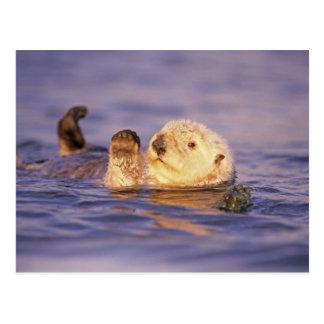 Cartão Postal Lontras de mar, lutris do Enhydra