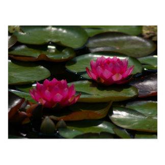 Cartão Postal Lotus magenta Waterlilies
