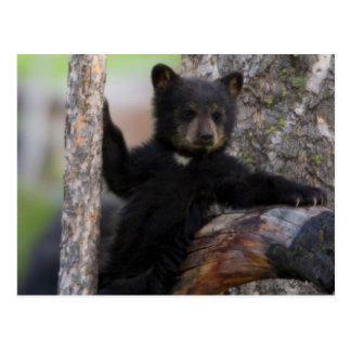 Cartão Postal Lounging de Cub de ursos pretos