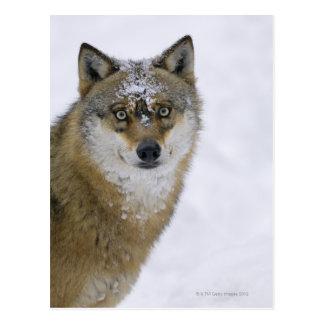 Cartão Postal Lúpus de Canis, olhando a câmera, Alemanha, Europa