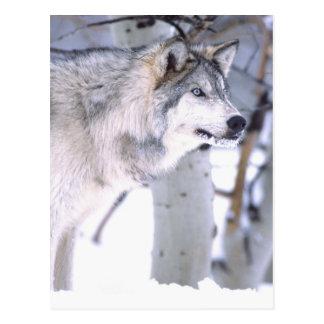 Cartão Postal Lúpus de lobo, de Canis de madeira, filme Utá