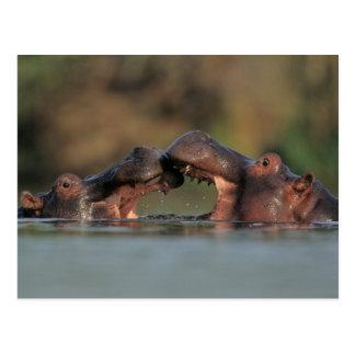 Cartão Postal Luta dos hipopótamos (Hippopotamus Amphibius)