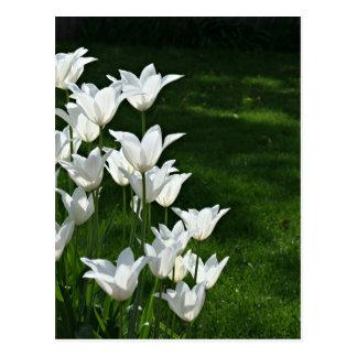 Cartão Postal Luz do sol branca das tulipas