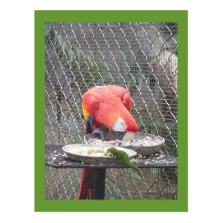 Cartão Postal Macaw vermelho com geco
