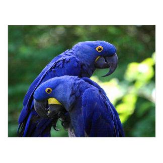 Cartão Postal Macaws do jacinto