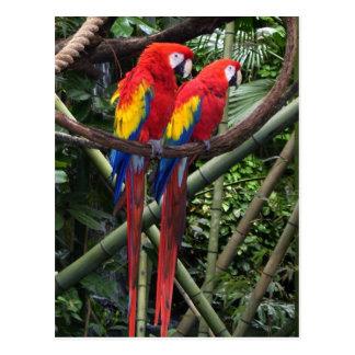 Cartão Postal macaws vermelhos
