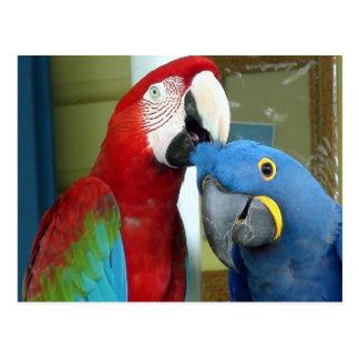 Cartão Postal Macaws vermelhos e azuis coloridos