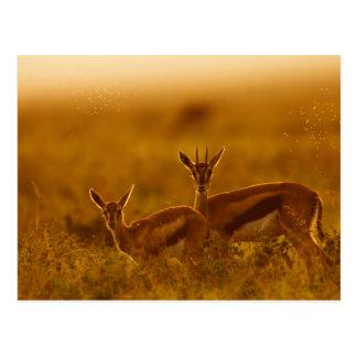 Cartão Postal Mãe da gazela de Thompson (Gazella Thomsonii)