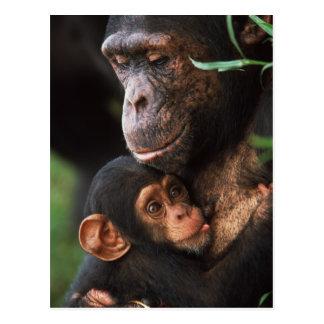 Cartão Postal Mãe do chimpanzé que consolida o bebê