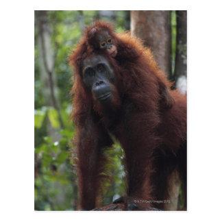 Cartão Postal Mãe do orangotango com bebê 2