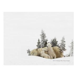Cartão Postal Mãe do urso polar e seu Cubs no parque de Wapusk