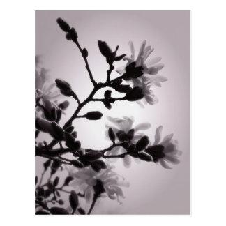 Cartão Postal Magnólia do primavera