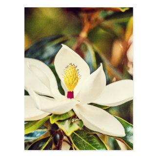 Cartão Postal Magnólia na flor