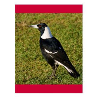 Cartão Postal Magpie