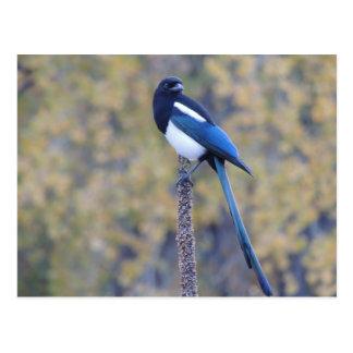 Cartão Postal Magpie faturado preto