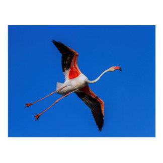 Cartão Postal Maior flamingo, roseus do phoenicopterus