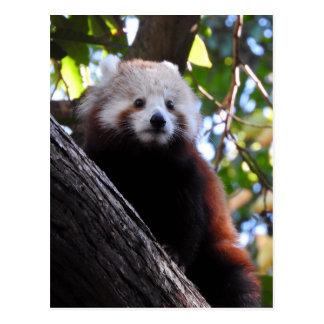 Cartão Postal Maiya a panda vermelha