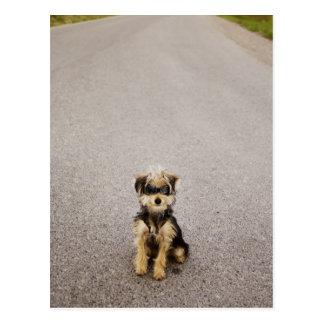 Cartão Postal Maltês, mistura do yorkshire terrier. Alberta,