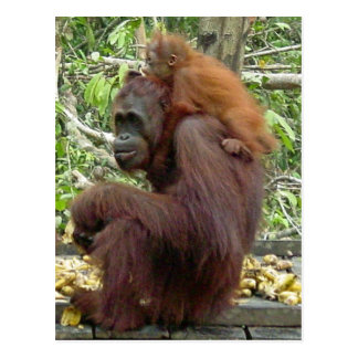 Cartão Postal Mamã & bebê do orangotango