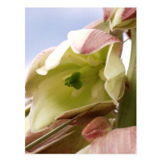 Cartão Postal Mandioca na flor