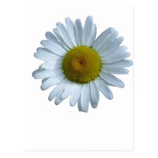 Cartão Postal Margarida branca