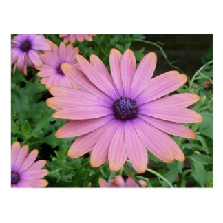 Cartão Postal Margarida cor-de-rosa