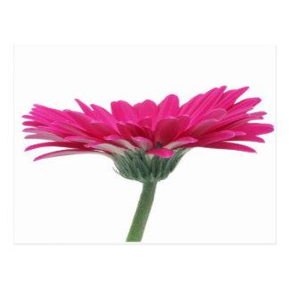 Cartão Postal Margarida do Gerbera do rosa quente