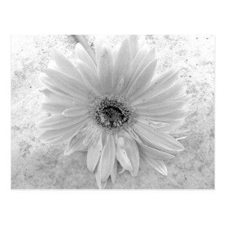 Cartão Postal Margarida preto e branco