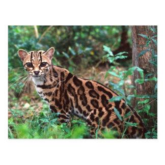 Cartão Postal Margay, wiedi de Leopardus, nativo a México em