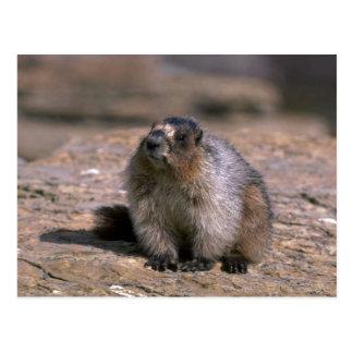 Cartão Postal Marmota Hoary