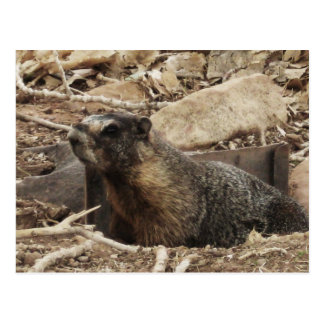 Cartão Postal Marmota mal-humorada