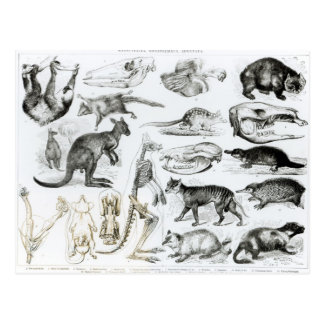 Cartão Postal Marsupialia, Monetremata, Edentata