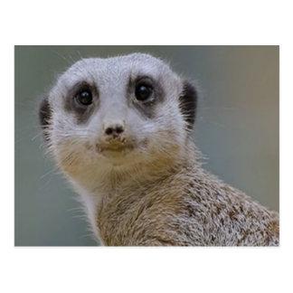 Cartão Postal meerkat