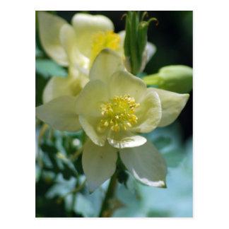 Cartão Postal Meios aquilégias da flor ganhar