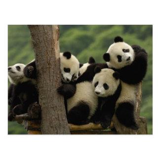 Cartão Postal Melanoleuca) do Ailuropoda dos bebês da panda