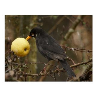 Cartão Postal Melro com maçã Poscard