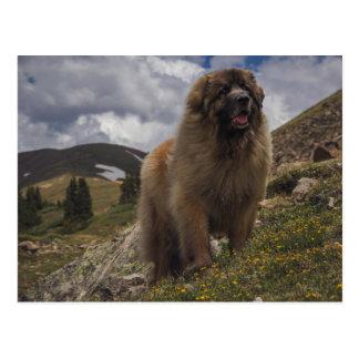 Cartão Postal Montanha Leonberger