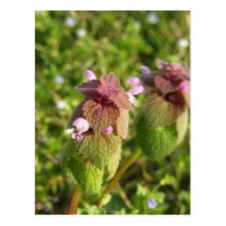Cartão Postal Morto-provocação roxa (purpureum do Lamium) no