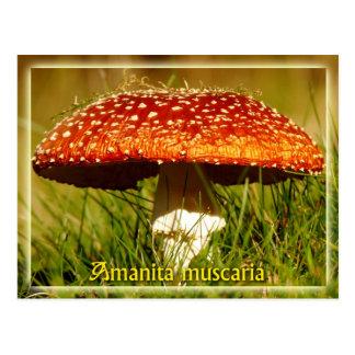 Cartão Postal Muscaria do amanita
