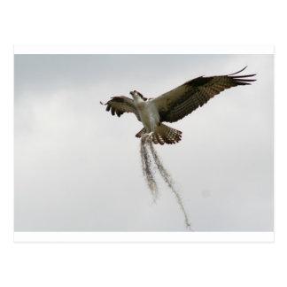 Cartão Postal Musgo do Osprey