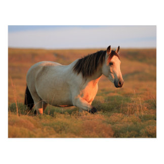 Cartão Postal Mustang do Buckskin