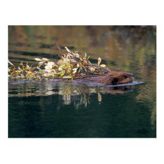 Cartão Postal NA, EUA, Alaska, Denali NP, coleta do castor